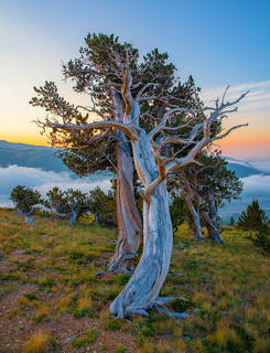 Colorado,Windy Ridge Bristlecone Pine Preserve