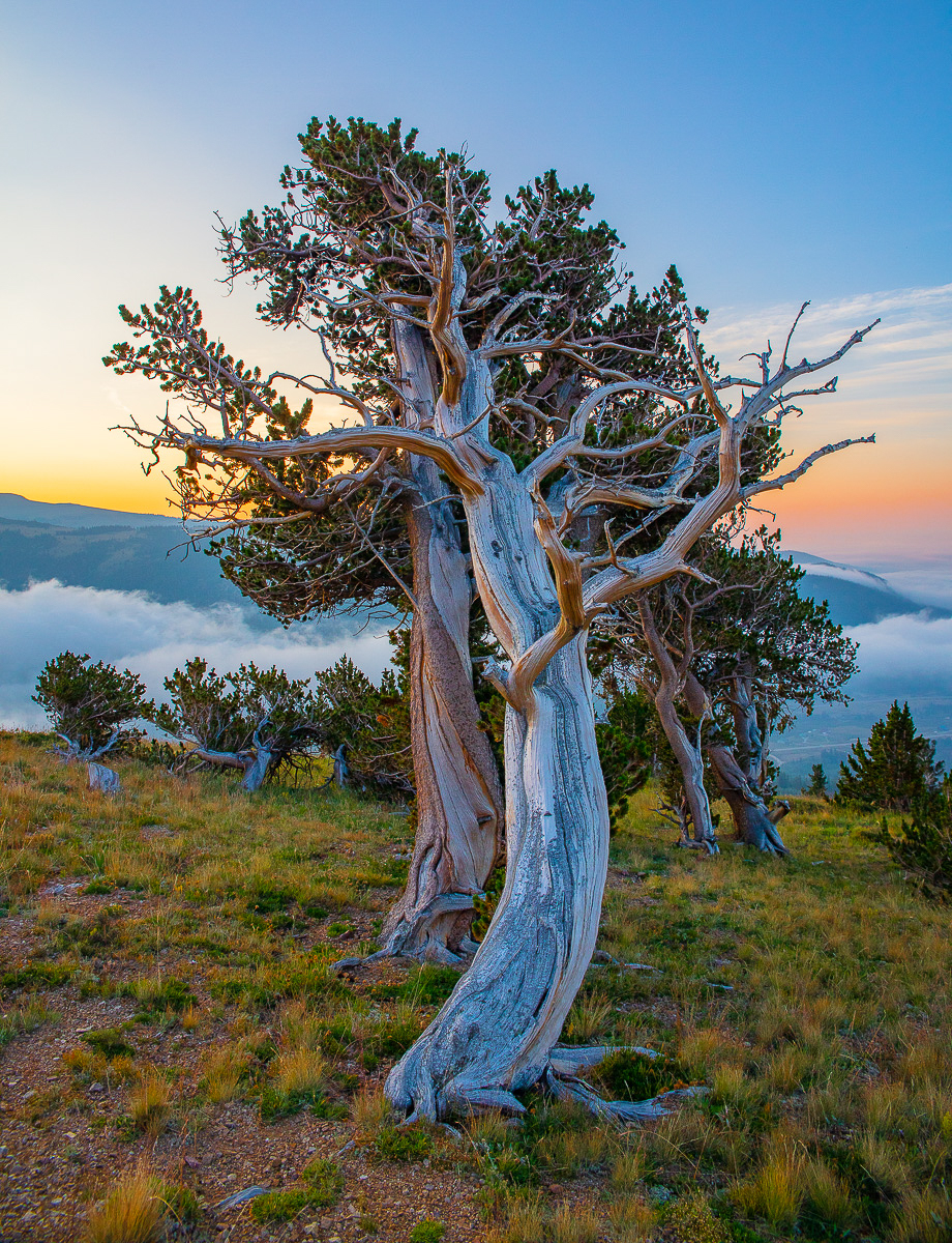 Colorado,Windy Ridge Bristlecone Pine Preserve, photo
